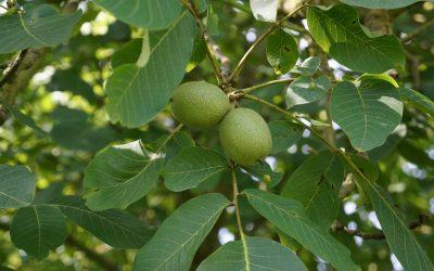 Tout savoir sur la récolte des noix